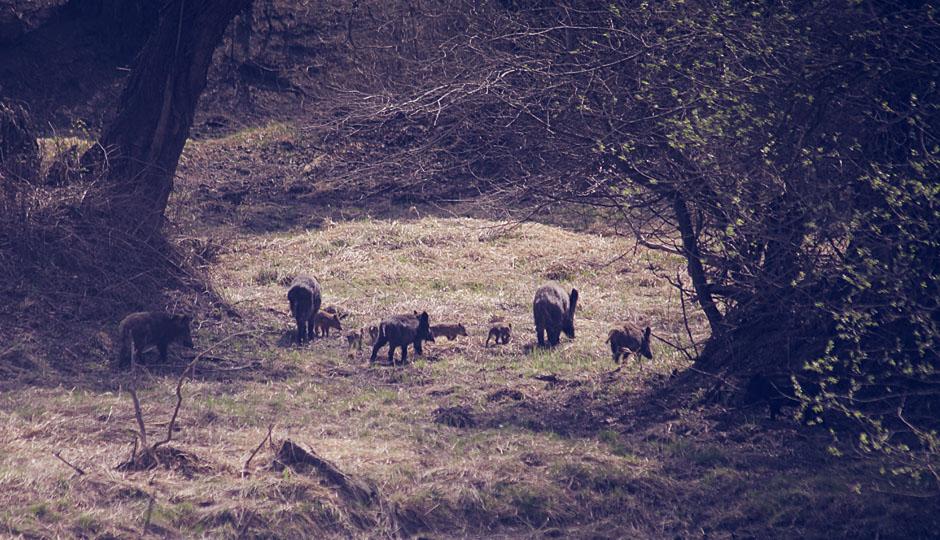 Die Wildschweine ziehen sich zurück