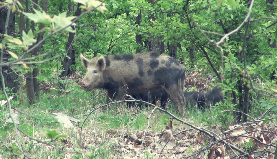 Eines der Schweine sieht irgendwie merkwürdig aus! Ob das auf eine geheime Affäre mit einem Hausschwein zurückzuführen ist?