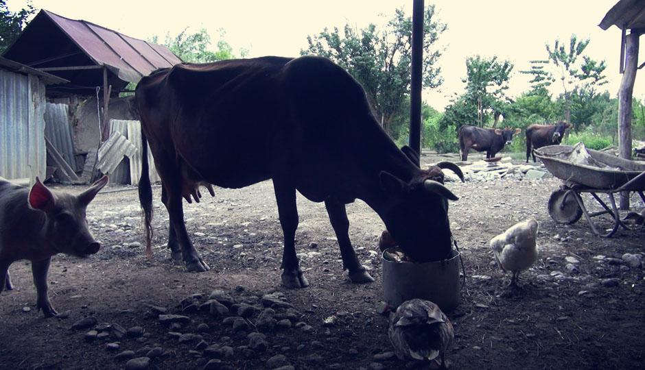 Im Hinterhof lebt ein kleiner Zoo aus Kühen, Schafen, Gänsen und einem aufmüpfigem Schwein.