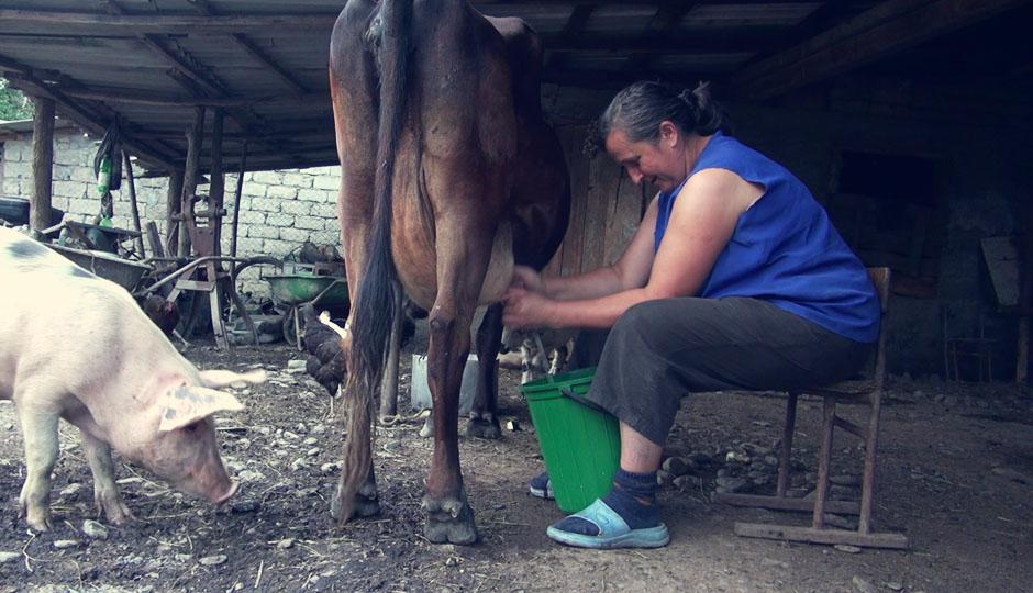 Abends werden die Kühe gemolken, um aus der Milch frischen Käse zu produzieren, den wir dann natürlich auch kosten dürfen. Immer da, wo was los ist: das Schwein!