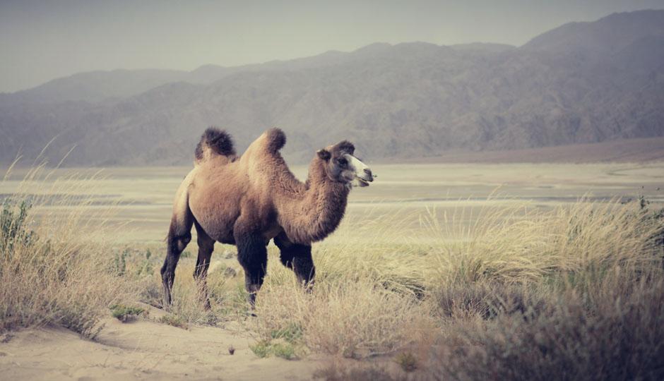 Und zu unserem Erstaunen treffen wir ein paar Bekannte aus Kasachstan wieder: Kamele.